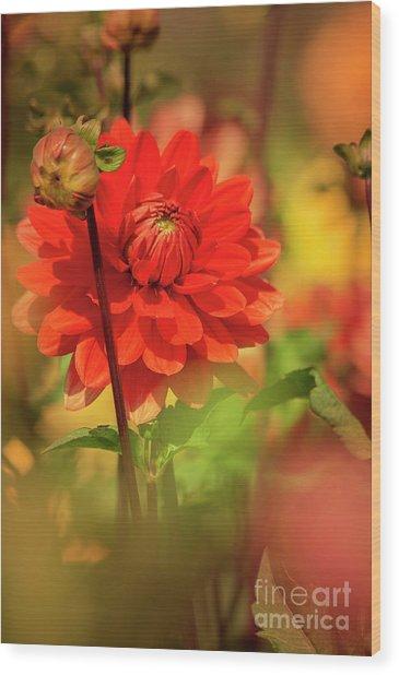 Dahlia In The Garden Wood Print