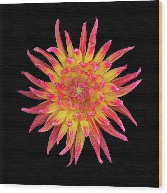Dahlia Two Wood Print by Christopher Gruver