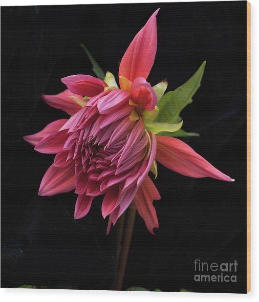 Dahlia 'wynn's King Salmon' Wood Print