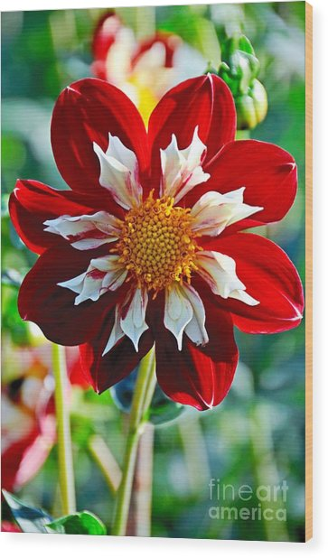 Dahlia's Beauty Wood Print