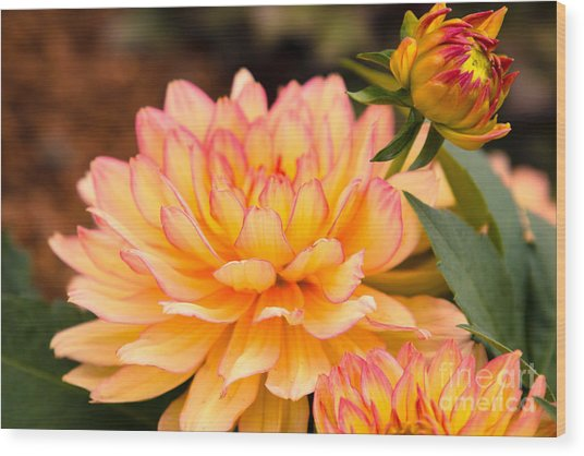 Dahlias In The Garden Wood Print