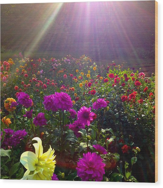 Dahlias Kissed By Sun-rays  Wood Print