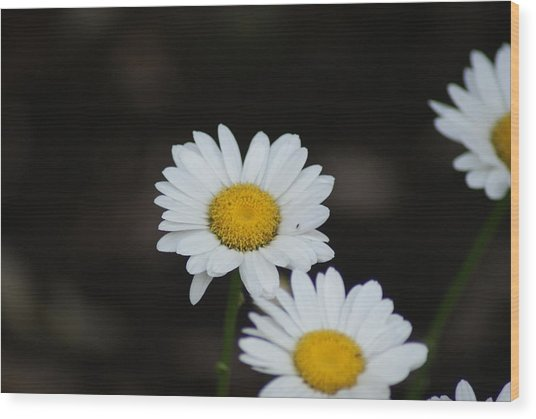 Daisies Wood Print by Heather Green