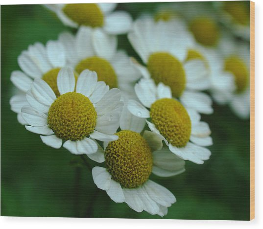 Daisies Wood Print by Juergen Roth