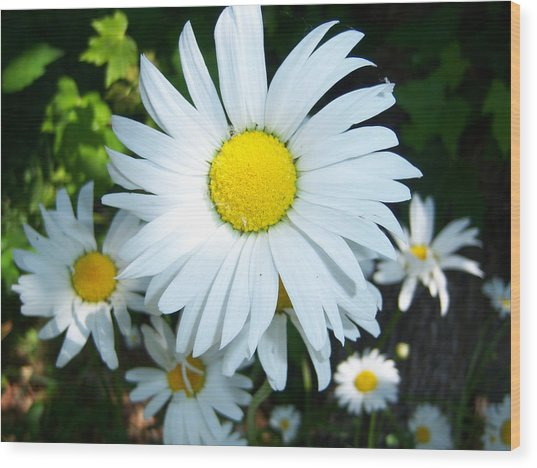 Daisies Wood Print by Ken Day