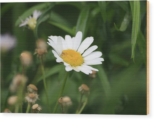 Daisy One Wood Print by Alan Rutherford