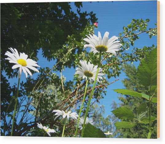 Daisy Rose Wood Print by Ken Day