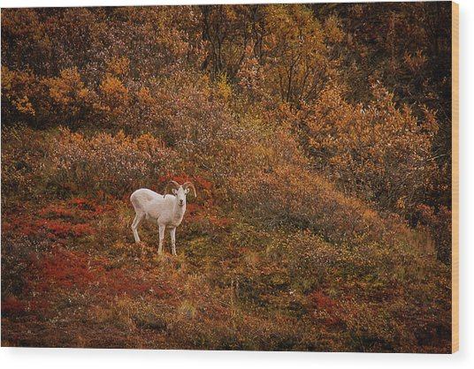 Dall Sheep Denali National Park Wood Print