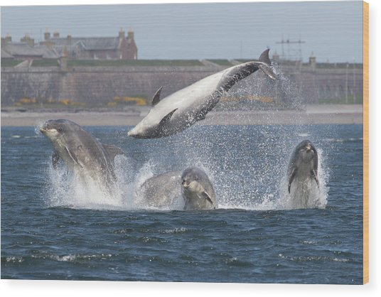 Wood Print featuring the photograph Dance Of The Dolphins by Karen Van Der Zijden