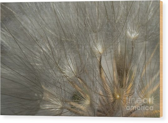 Dandelion 3 Wood Print