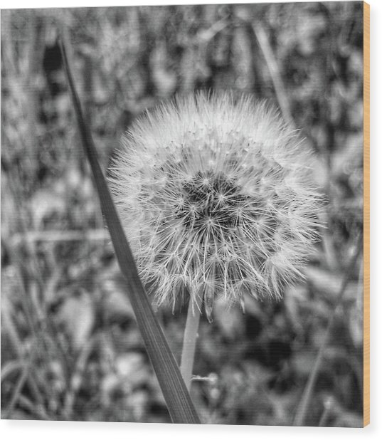 Wood Print featuring the photograph Dandelion by Al Harden