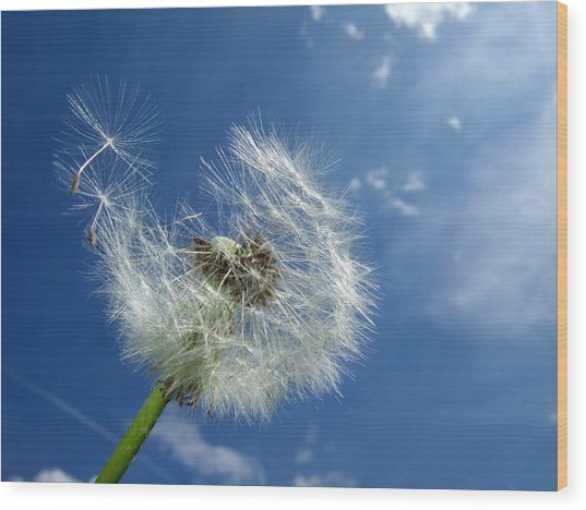 Dandelion And Blue Sky Wood Print