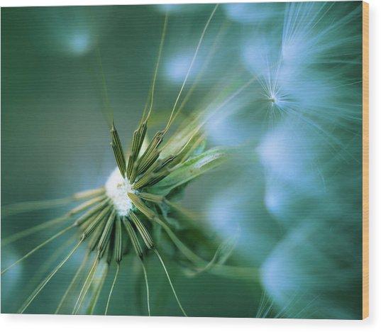 Dandelion IIi Wood Print
