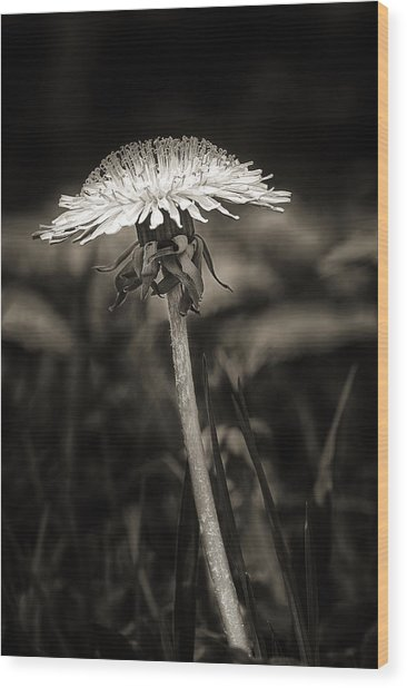 Dandelion In Black And Wite Wood Print