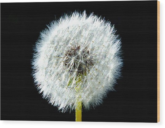 Dandelion Wood Print by Joyce Sherwin