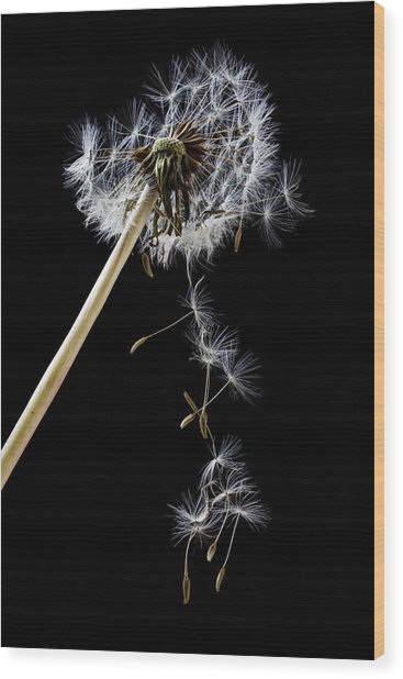 Dandelion Loosing Seeds Wood Print