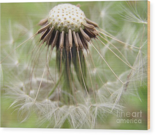 Dandelion Wish 8 Wood Print
