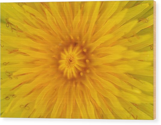 Dandelion8 Wood Print
