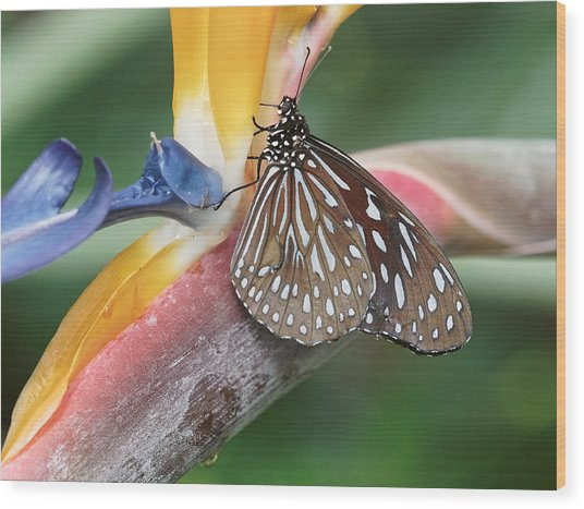Wood Print featuring the photograph Dark Blue Tiger Butterfly - 1 by Paul Gulliver