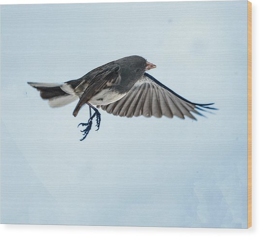 Dark-eyed Junco Flying Wood Print
