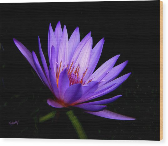 Dark Side Of The Purple Water Lily Wood Print