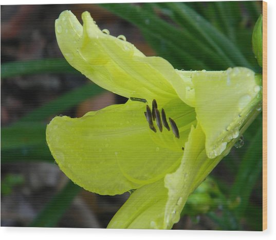 Day Lily And Raindrops Closeup Wood Print by Warren Thompson
