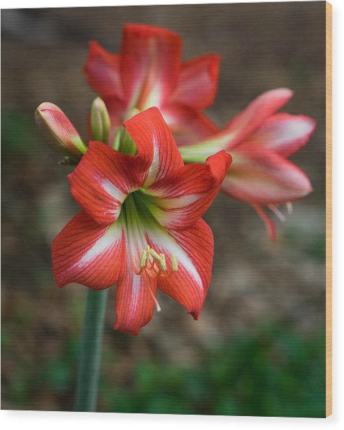 Day Lily Wood Print by Denise McKay