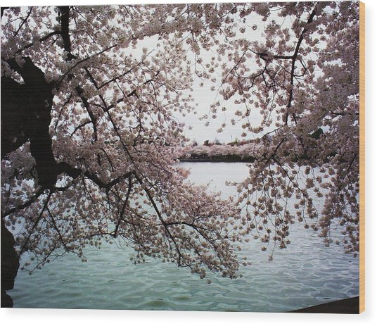 Dc Cherry Blossoms Wood Print