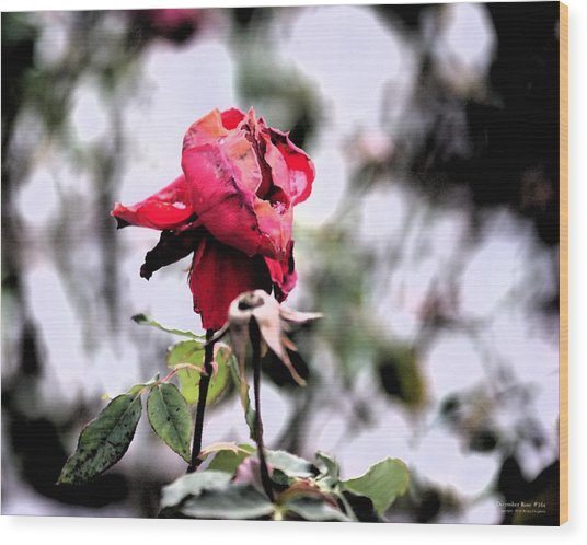 Wood Print featuring the digital art December Rose #16 by Brian Gryphon