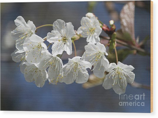 Deep Blue  Cherry Blossom Wood Print