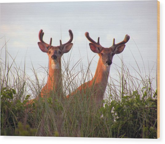 Deer In The Dunes Wood Print by Donald Cameron