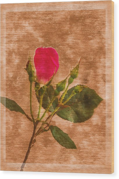 Delicate Bloom - Textured Rose Wood Print by Barry Jones