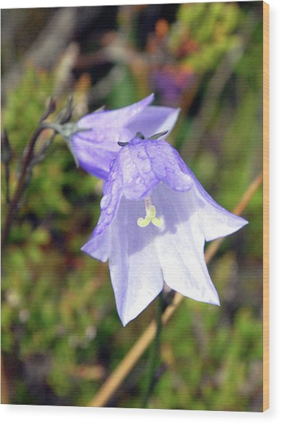 Delicate Harebell Wood Print