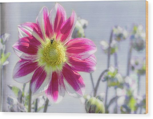 Wood Print featuring the photograph Delicious Dahlia by Belinda Greb