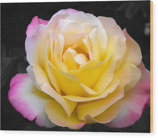 Delightful Blushing Rose  Wood Print