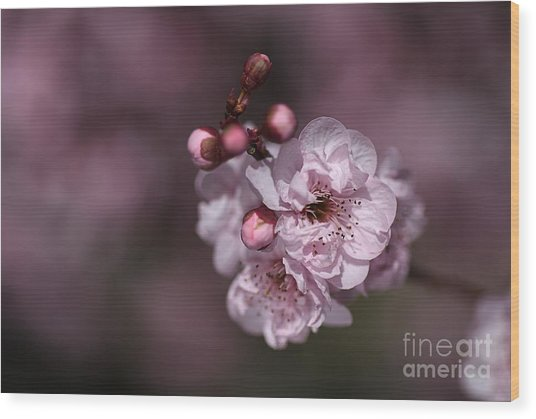 Delightful Pink Prunus Flowers Wood Print