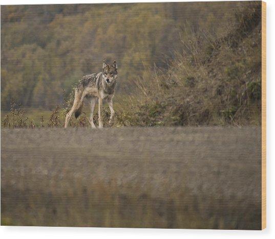 Denali Park Wolf Wood Print