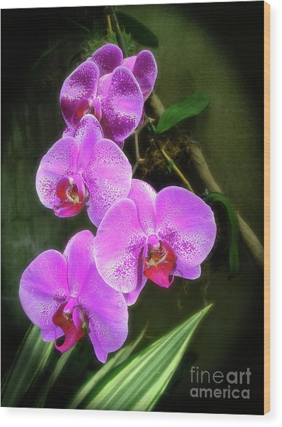 Dew-kissed Moth Orchids Wood Print