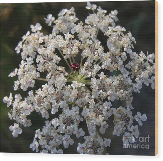 Dew On Queen Annes Lace Wood Print