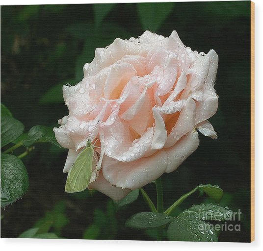 Dewdrops On A Rose Wood Print by Addie Hocynec