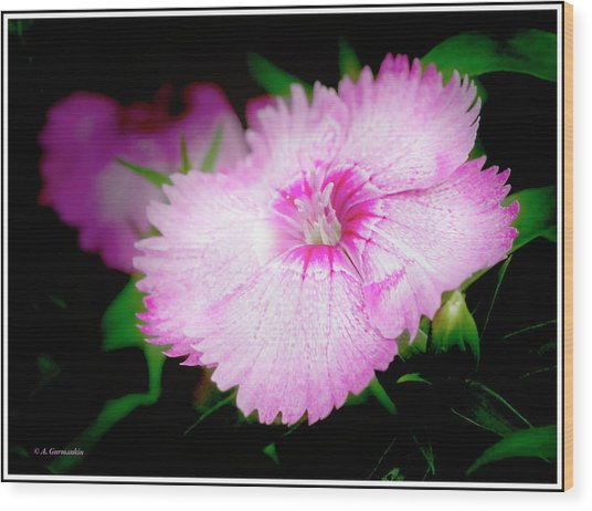 Dianthus Flower Wood Print
