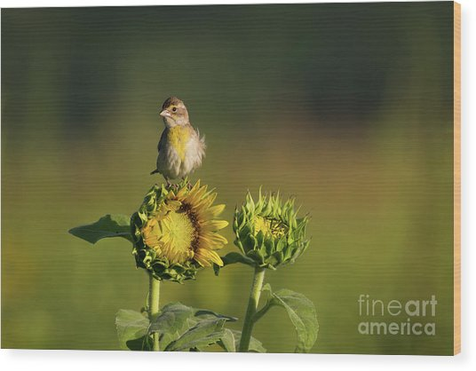 Dickcissel Sunflower Wood Print