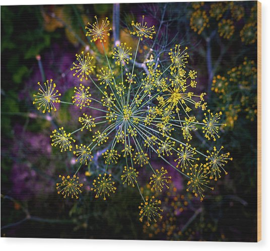 Dill Going To Seed Wood Print