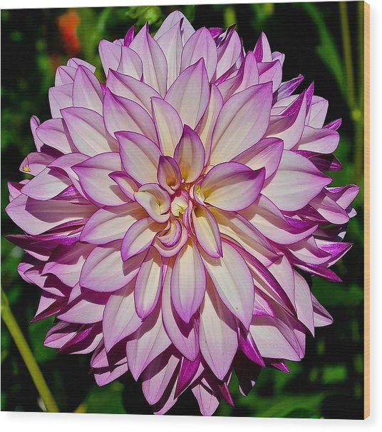 Divine Dahlia Blessings  Wood Print