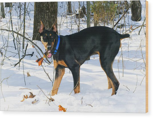 Doberman Wood Print by Melissa  Riggs