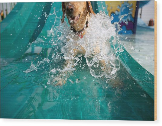 Dog Splashing In Water Wood Print