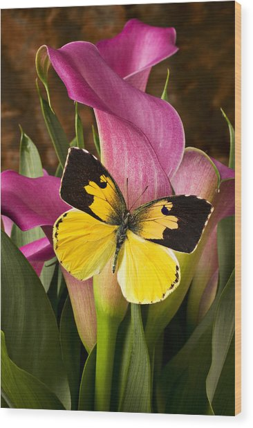 Dogface Butterfly On Pink Calla Lily  Wood Print