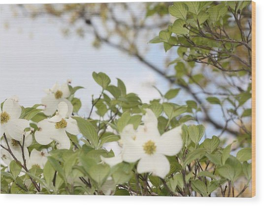 Dogwood Wood Print by Angie  Wise