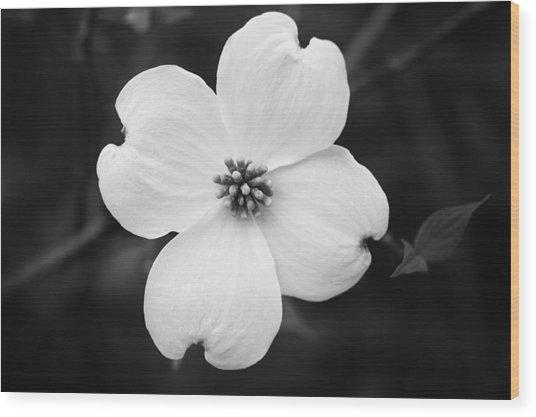 Dogwood Blossom Wood Print