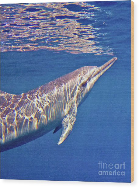 Dolphin Reflections Wood Print